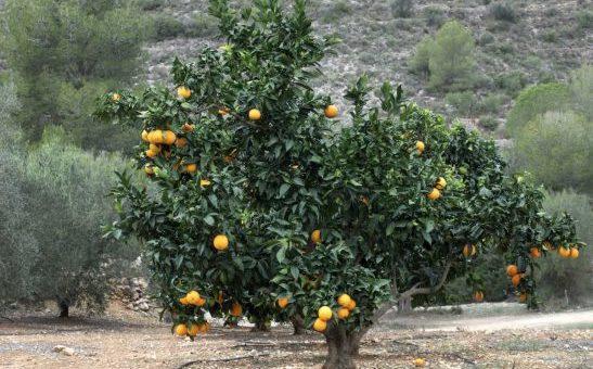 Un oranger sans pépins pour sublimer les jardins